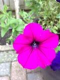 Purpurroter Blumensommer 2014 Nizza Lizenzfreie Stockfotografie