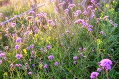 Purpurroter Blumensonnenschein der Verbene im Garten Lizenzfreie Stockfotos