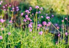 Purpurroter Blumensonnenschein der Verbene im Garten Lizenzfreie Stockbilder