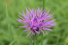 Purpurroter britischer Wildflower im Gras Lizenzfreies Stockbild