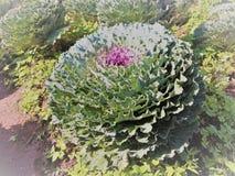Purpurroter dekorativer Kohl im Garten Stockbilder