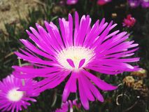 Purpurroter exotischer Blumengarten Stockfotografie