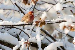 Purpurroter Fink auf schneebedeckter Niederlassung Lizenzfreie Stockfotos
