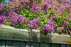 Purpurroter Fliederbusch, der im Frühjahr Tag blüht Stockbild