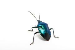 Purpurroter Geschwollen-mit Beinen versehener Käfer Stockfotografie