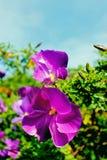 Purpurroter Hibiscus Stockfoto
