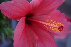Purpurroter Hibiscus in der Nahaufnahme mit Fokus auf dem Blütenstaub stockbilder