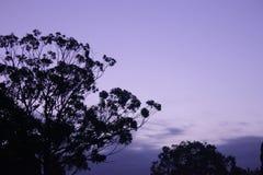 Purpurroter Himmelsonnenuntergang, Baumschattenbild Stockfotografie