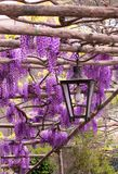 Purpurroter Hintergrund: Pergola mit Glyziniefiowers und -laterne Lizenzfreie Stockbilder