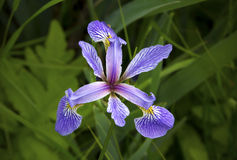 Purpurroter Iris Wildflower in den Sumpfgebieten des weißen Denkmals, Connecticu Stockfotografie