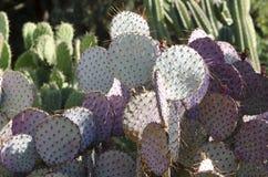 Purpurroter Kaktusfeige-Kaktus Stockbild