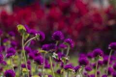 Purpurroter Klee Stockfoto