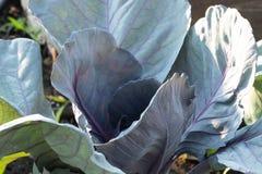Purpurroter Kohl, der im Garten die große Blattnahaufnahme wächst stockfotos
