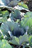 Purpurroter Kohl, der im Garten die große Blattnahaufnahme wächst lizenzfreies stockfoto