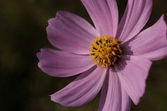 Purpurroter Kosmosblumenabschluß oben Lizenzfreie Stockbilder