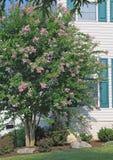 Purpurroter Krepp-Myrte-Baum stockfoto