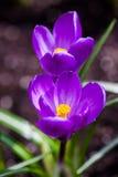 Purpurroter Krokus blüht Blüte im Frühjahr Stockfotos