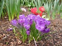 Purpurroter Krokus, der in der Garten-Einstellung wächst Lizenzfreie Stockbilder