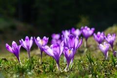 Purpurroter Krokus im Gras Stockfotos