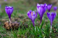 Purpurroter Krokus im Gras Stockfoto