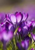 Purpurroter Krokusse Krokus - Licht überschwemmt Stockbilder