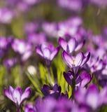 Purpurroter Krokusse Krokus - Licht überschwemmt Lizenzfreies Stockfoto