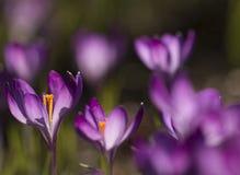 Purpurroter Krokusse Krokus - Licht überschwemmt Lizenzfreie Stockbilder