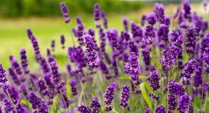 Purpurroter Lavendel Stockfoto