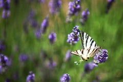 Purpurroter Lavendel blüht, Nahaufnahme der duftenden Blume Lizenzfreies Stockfoto
