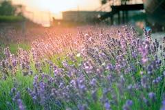 Purpurroter Lavendel in der Sonne bei Sonnenuntergang Stockfotografie
