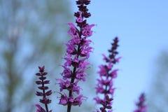 Purpurroter Lavendel mit Hintergrundunschärfe stockfoto