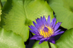 Purpurroter Lotos auf grünem Hintergrund Stockbild
