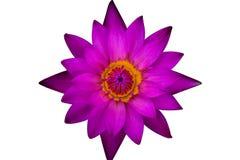 Purpurroter Lotos der Draufsicht und gelber Blütenstaub Stockbild