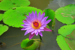 Purpurroter Lotos im Wasser Stockbild