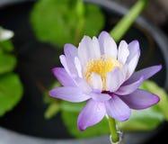 Purpurroter Lotos oder waterlily Stockfoto
