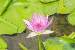 Purpurroter Lotos, Purpur waterlily Stockbilder