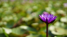 Purpurroter Lotos, purpurrote Seerose im Garten Stockfoto