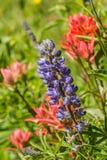 Purpurroter Lupine Lizenzfreie Stockfotografie