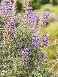 Purpurroter Mini Lilac Flowers in den Wiesen stockbilder