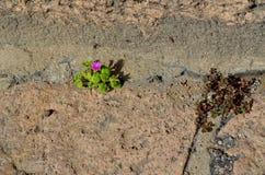 Purpurroter Minizierpflanzenbau auf Fußweg stockfoto