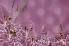 Purpurroter mit Blumenhintergrund Lilienblumen auf einem unscharfen bokeh Hintergrund Tulpen und Winde auf einem weißen Hintergru Stockfotos