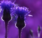 Purpurroter mit Blumenhintergrund Wildflowers in den Sonne ` s Strahlen Nahaufnahme Weicher Fokus Lizenzfreies Stockfoto
