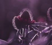 Purpurroter mit Blumenhintergrund Wildflowers des Klees im Sonne ` s strahlt aus Weicher Fokus Lizenzfreie Stockbilder