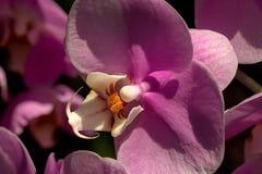 Purpurroter Phalaenopsis-Orchideen-oben Abschluss Lizenzfreie Stockfotos