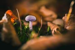 Purpurroter Pilz mit Herbstlaub zwischen dem grünen Moos, autum Stockbild
