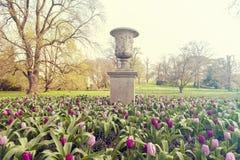 Purpurroter Prinz Single Early Tulips Tulipa, der an Kew-Garten, London, Großbritannien wächst stockfotos