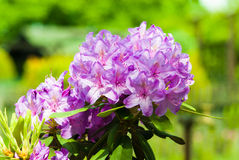 Purpurroter Rhododendron Stockbild