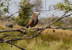 Purpurroter Rollen-Vogel Stockfoto