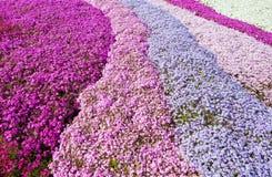 Purpurroter, rosafarbener Teppich der Blumen. Stockfotografie