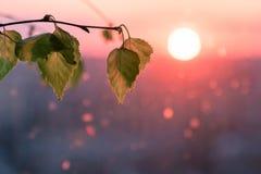Purpurroter roter hochroter Sonnenuntergang im Fenster vor dem hintergrund der Birkenzweige die Sonne versteckt im Laub Hintergru Lizenzfreie Stockbilder